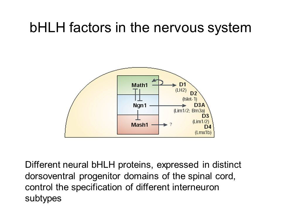 bHLH factors in the nervous system Different neural bHLH proteins, expressed in distinct dorsoventral progenitor domains of the spinal cord, control the specification of different interneuron subtypes