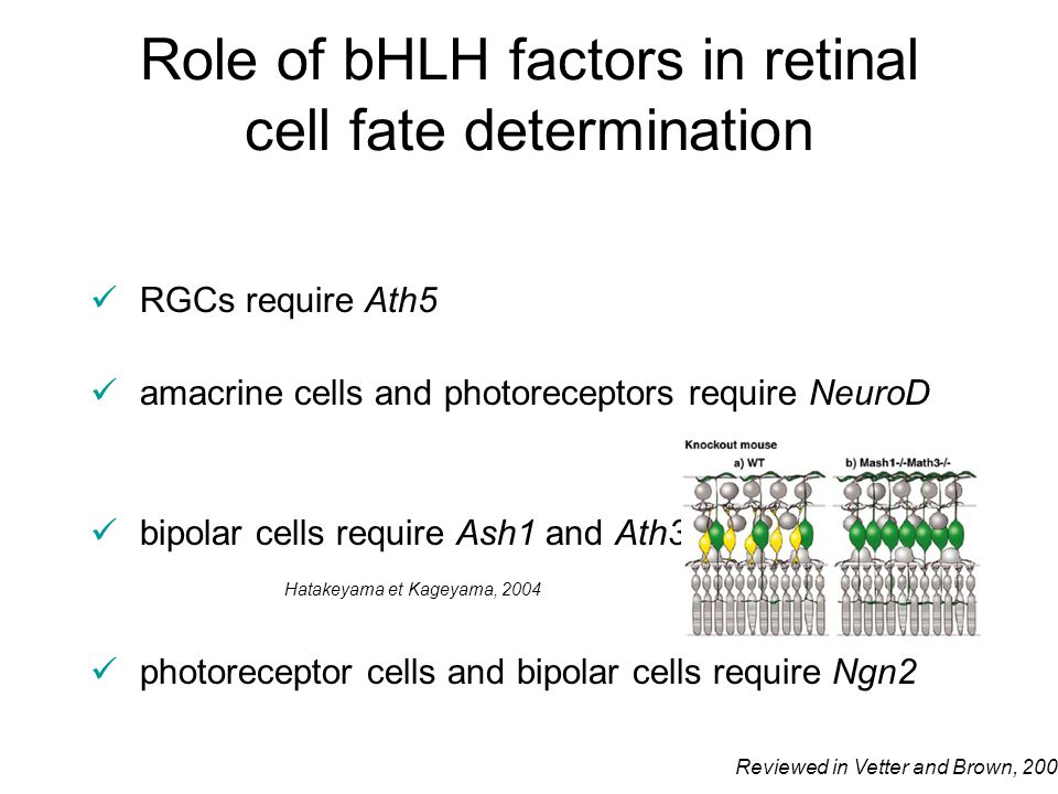 Role of bHLH factors in retinal cell fate determination RGCs require Ath5 amacrine cells and photoreceptors require NeuroD bipolar cells require Ash1