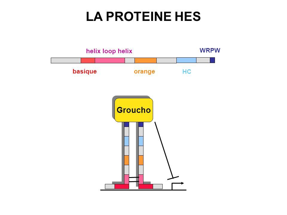 helix loop helix orange HC WRPW basique LA PROTEINE HES Groucho