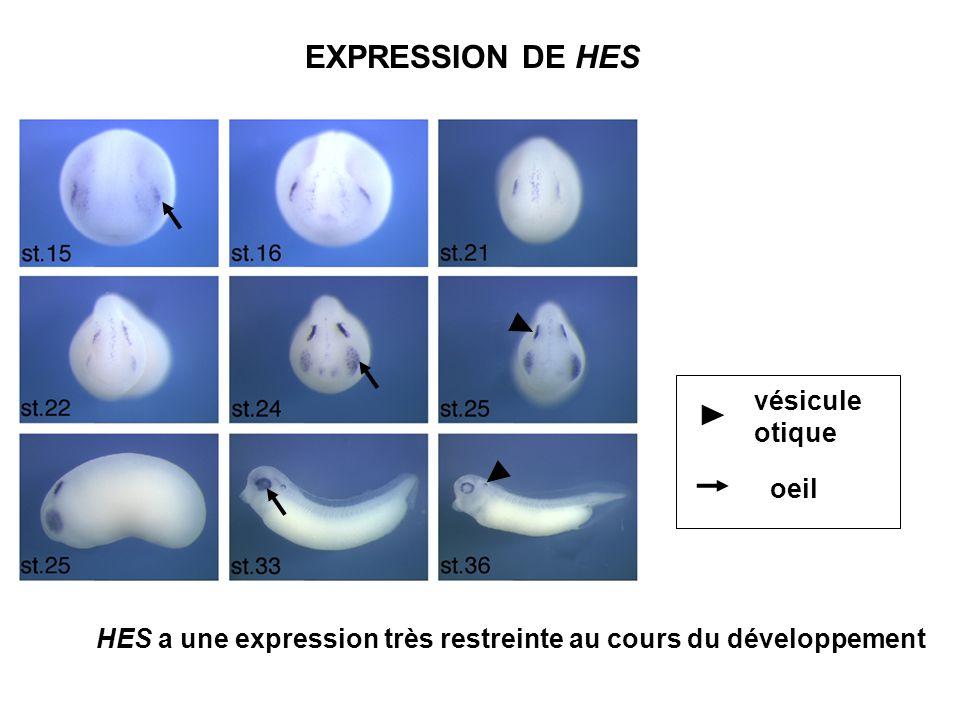 EXPRESSION DE HES vésicule otique oeil HES a une expression très restreinte au cours du développement