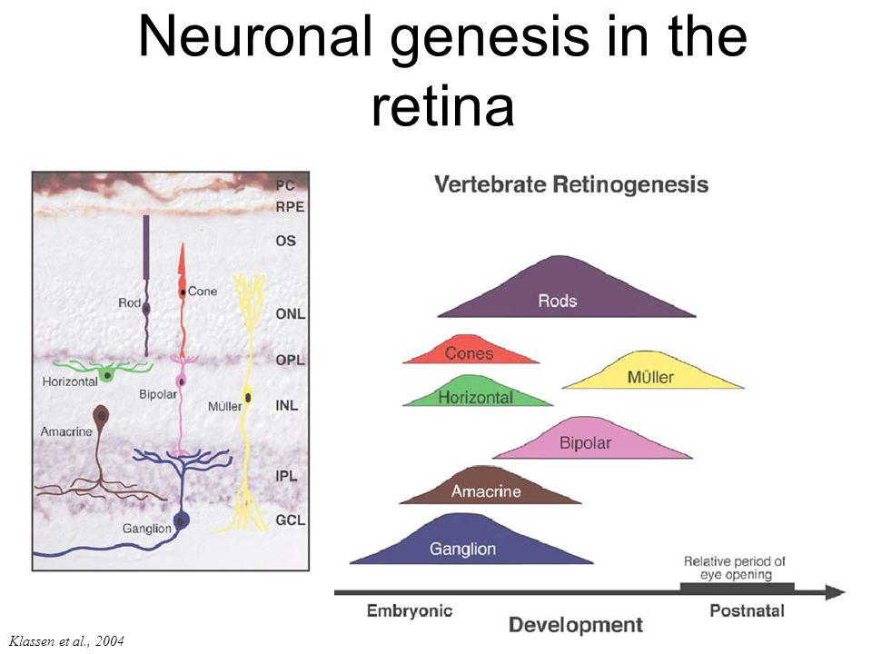 Klassen et al., 2004 Neuronal genesis in the retina