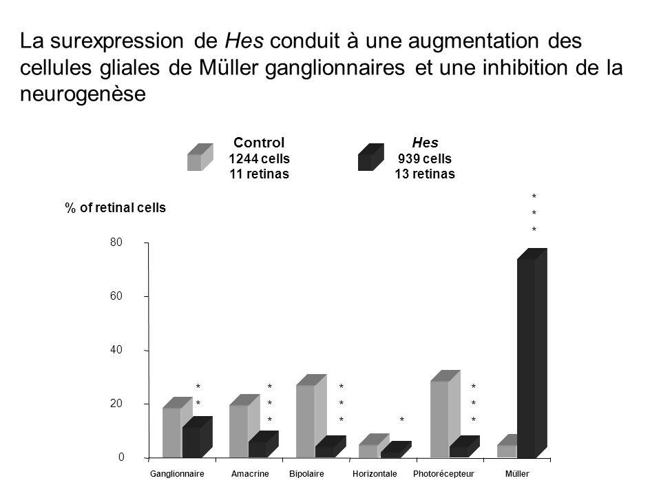 La surexpression de Hes conduit à une augmentation des cellules gliales de Müller ganglionnaires et une inhibition de la neurogenèse 0 20 40 60 80 Control 1244 cells 11 retinas Hes 939 cells 13 retinas % of retinal cells * * * * * * * * * * * * * * * GanglionnaireAmacrineBipolaireHorizontalePhotorécepteurMüller
