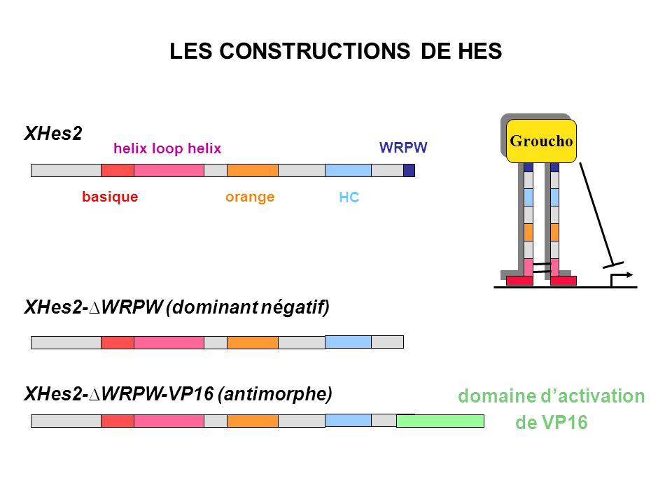 XHes2 Groucho helix loop helix orange HC WRPW basique LES CONSTRUCTIONS DE HES XHes2-WRPW (dominant négatif) XHes2-WRPW-VP16 (antimorphe) domaine dactivation de VP16