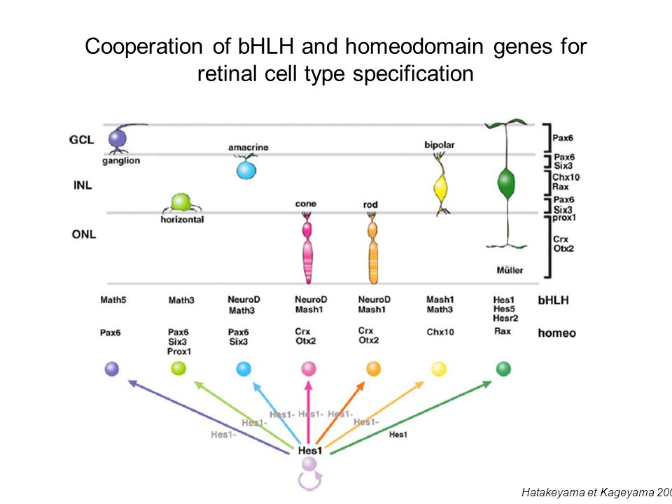 Cooperation of bHLH and homeodomain genes for retinal cell type specification Hatakeyama et Kageyama 2004