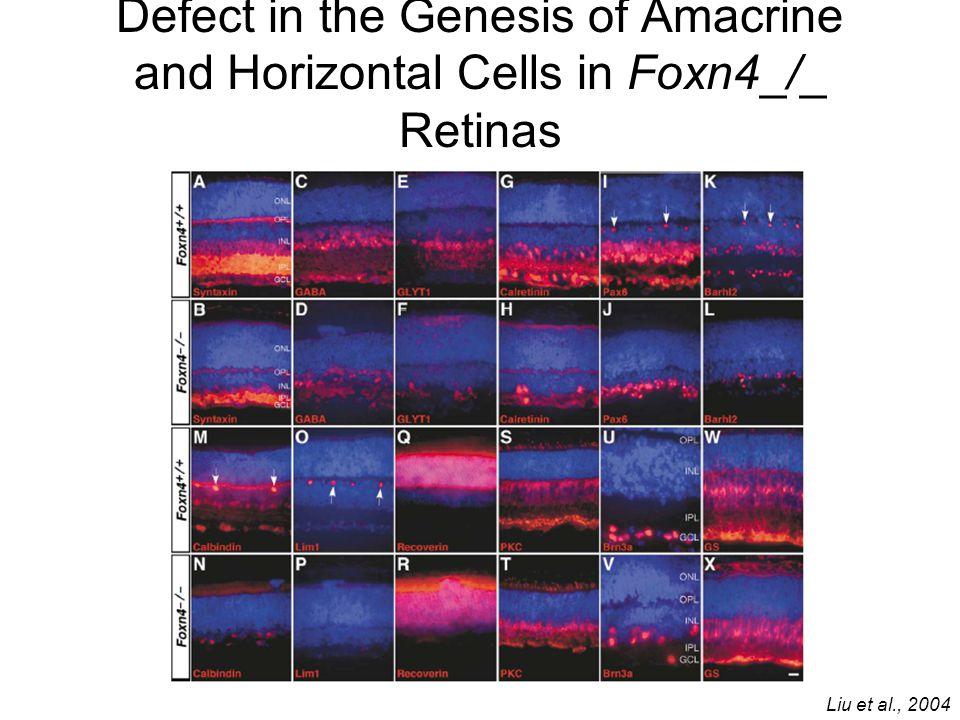 Defect in the Genesis of Amacrine and Horizontal Cells in Foxn4_/_ Retinas Liu et al., 2004