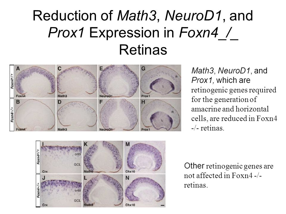 Reduction of Math3, NeuroD1, and Prox1 Expression in Foxn4_/_ Retinas Math3, NeuroD1, and Prox1, which are retinogenic genes required for the generati