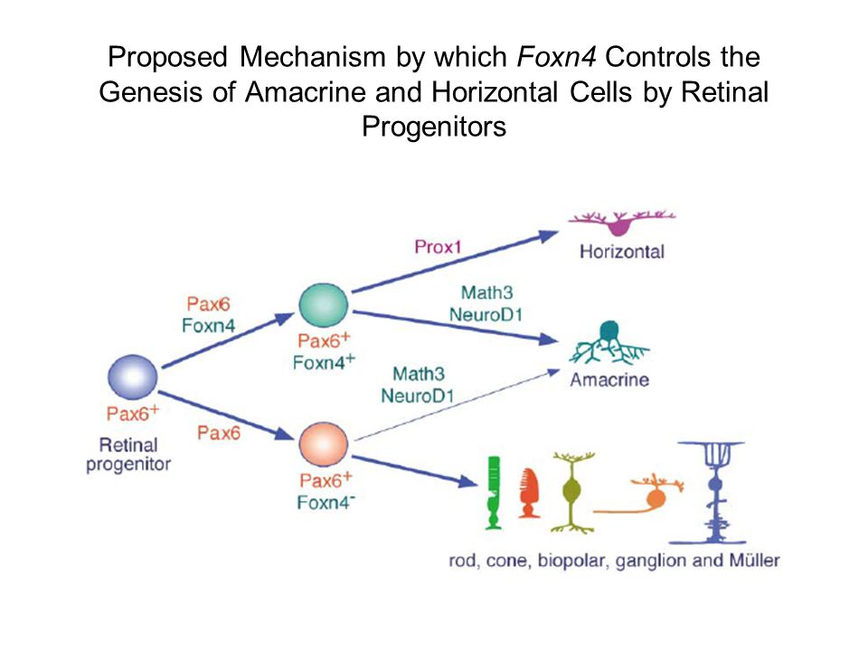Proposed Mechanism by which Foxn4 Controls the Genesis of Amacrine and Horizontal Cells by Retinal Progenitors