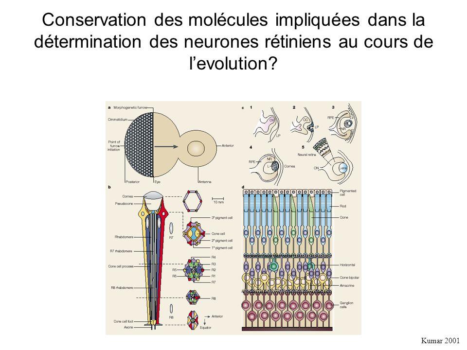 Conservation des molécules impliquées dans la détermination des neurones rétiniens au cours de levolution.