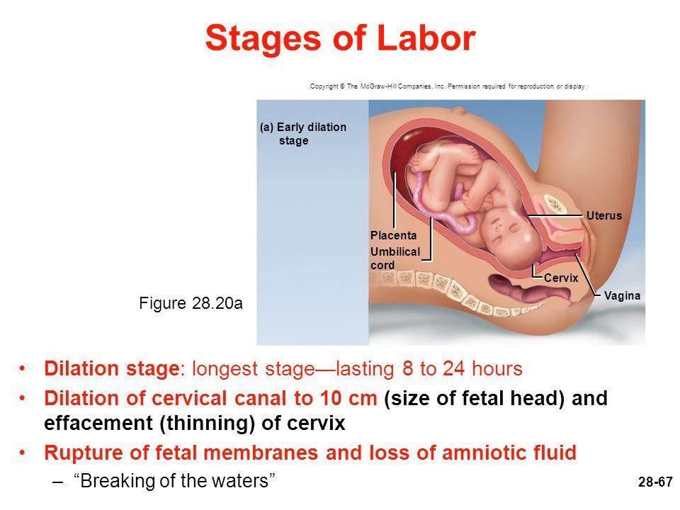 Fetal membranes are also called vulva