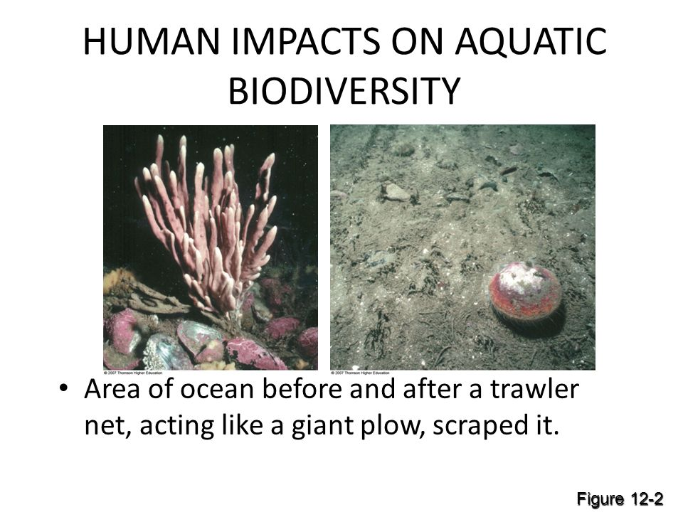 HUMAN IMPACTS ON AQUATIC BIODIVERSITY Area of ocean before and after a trawler net, acting like a giant plow, scraped it.