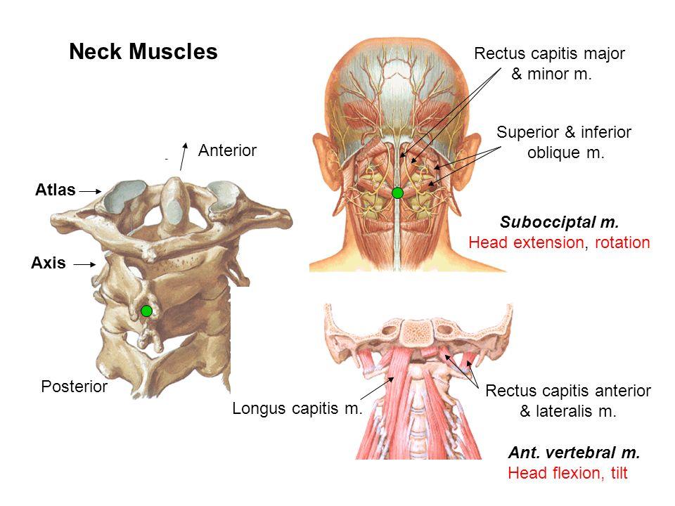 Ungewöhnlich Anatomie Und Physiologie Muskelsystemtest Bilder ...