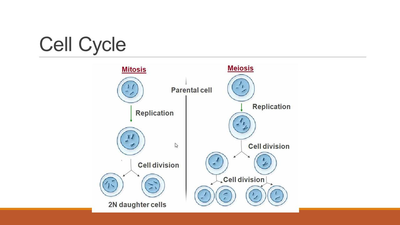 Chapter 5 the cell cycle mitosis and meiosis worksheet answer key