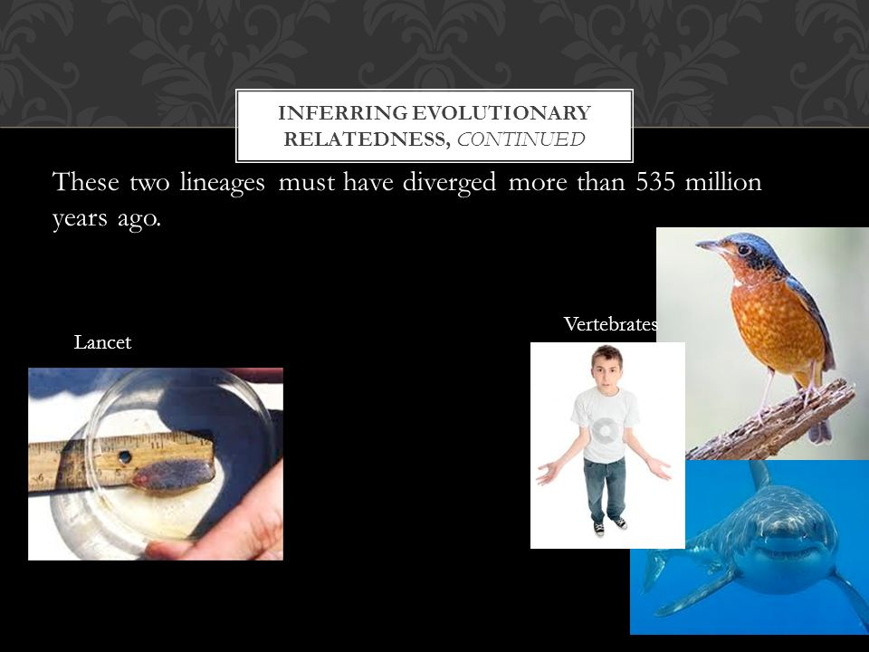INFERRING EVOLUTIONARY RELATEDNESS, CONTINUED These two lineages must have diverged more than 535 million years ago.