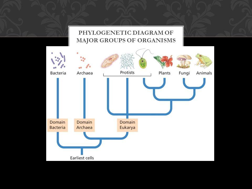 PHYLOGENETIC DIAGRAM OF MAJOR GROUPS OF ORGANISMS