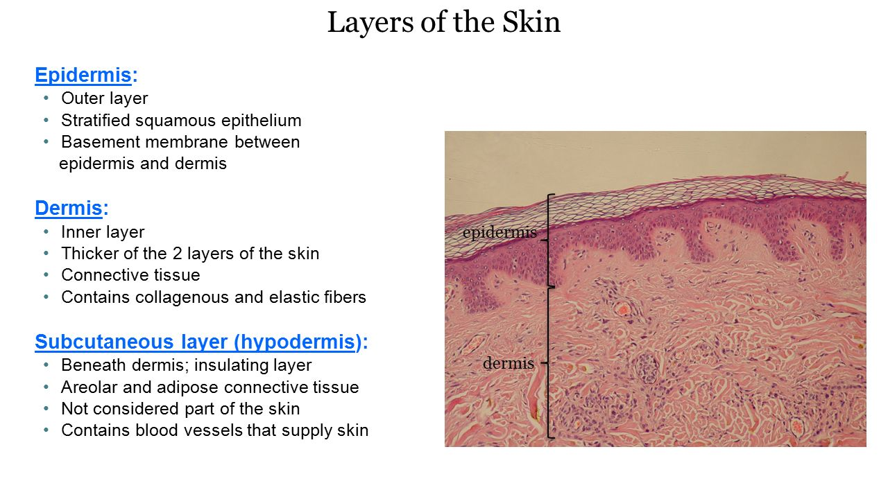 Layers of the skin anatomy 7272425 - follow4more.info