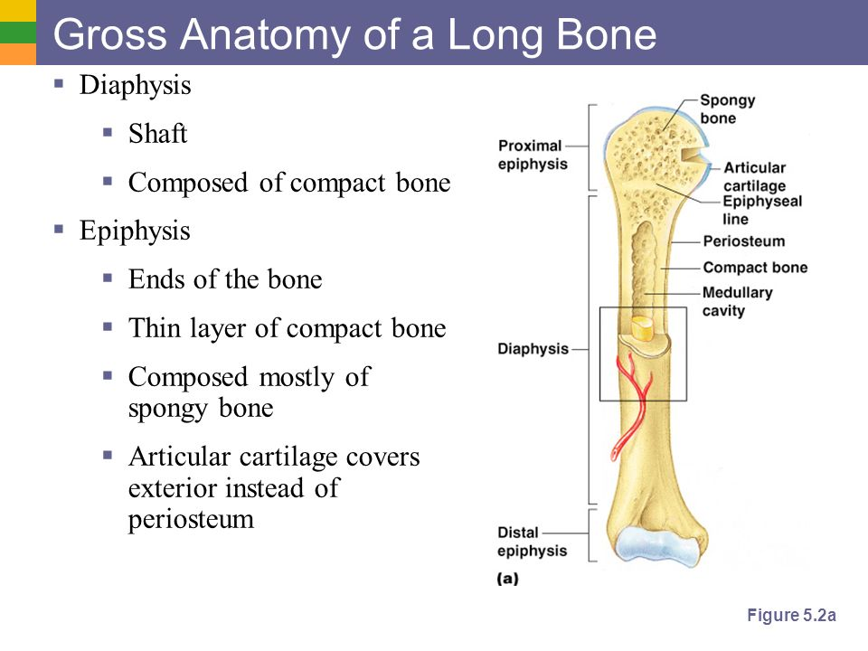 Gross anatomy questions