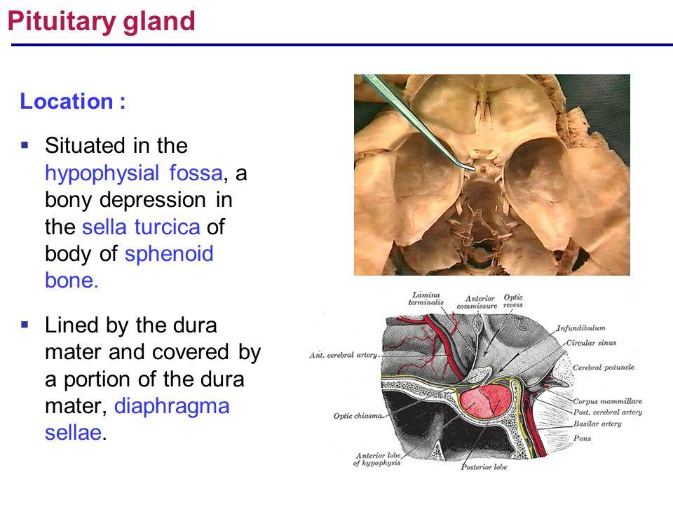 r.arulmoli gross anatomy of endocrine glands: pituitary,adrenal, Sphenoid