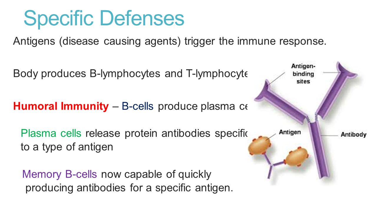 specific humoral immunity b cells biology essay A lymphocyte is one of the subtypes of white blood cell in a vertebrate's immune systemlymphocytes include natural killer cells (which function in cell-mediated, cytotoxic innate immunity), t cells (for cell-mediated, cytotoxic adaptive immunity), and b cells (for humoral, antibody-driven adaptive immunity).