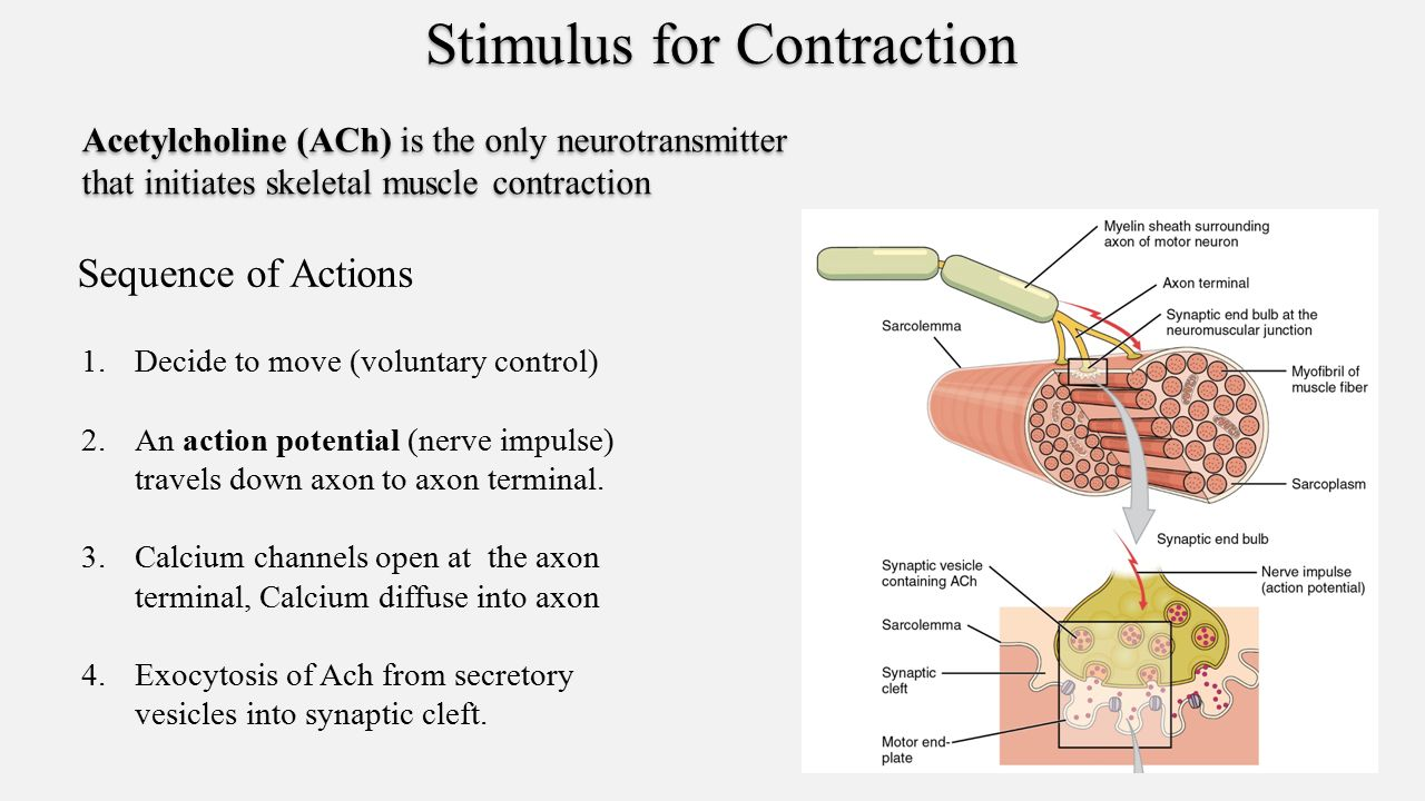 phisioexthe effect of stimulus voltage on skeletal muscle contraction Lab 6 biomechanics of frog skeletal muscle  d determining the effect of load on skeletal muscle what was the stimulus voltage at maximal contraction.