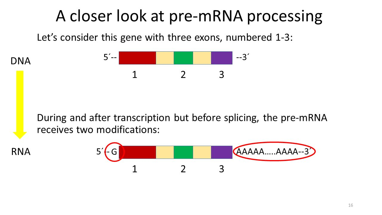 --3´ A closer look at pre-mRNA processing Let's consider this gene with three exons, numbered 1-3: During and after transcription but before splicing, the pre-mRNA receives two modifications: 16 123 5´----3´ 123 5´-- DNA RNA G AAAAA…..AAAA--3´