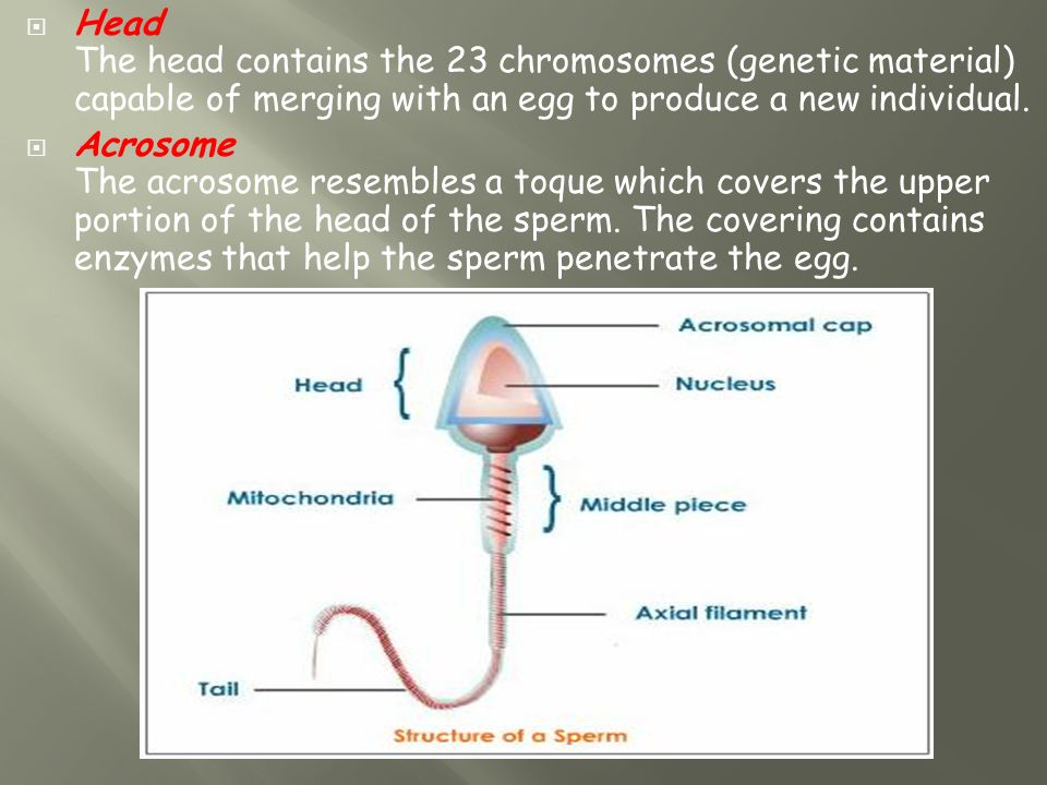 Chromosomes In Mature Sperm