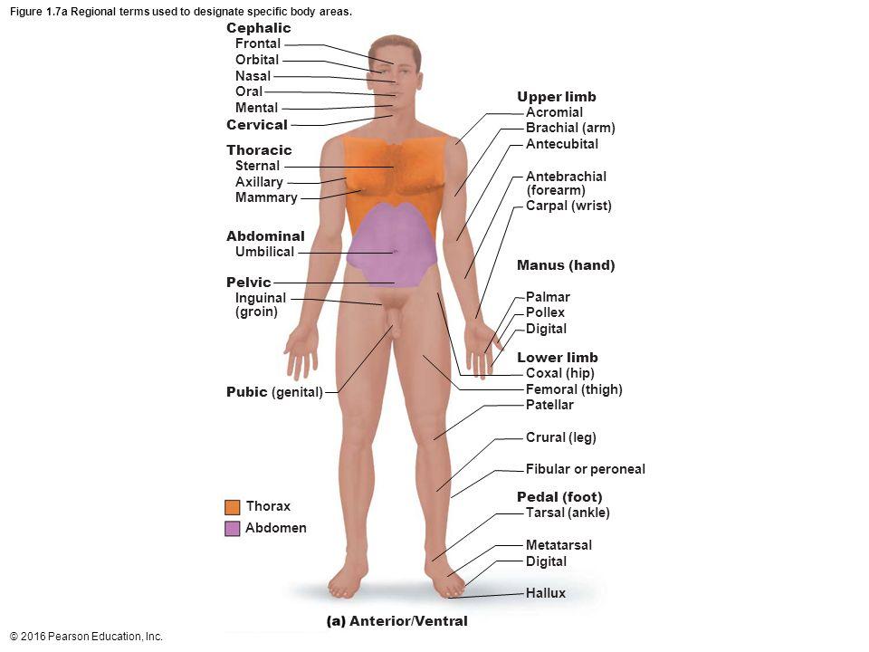 Ausgezeichnet Anatomy And Physiology Ivy Tech Fotos - Menschliche ...