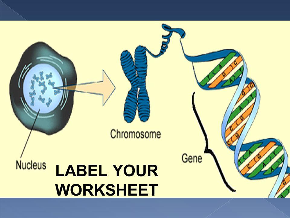 DNA LABEL YOUR WORKSHEET GENE CELL DNA CHROMOSOME NUCLEUS. - ppt ...