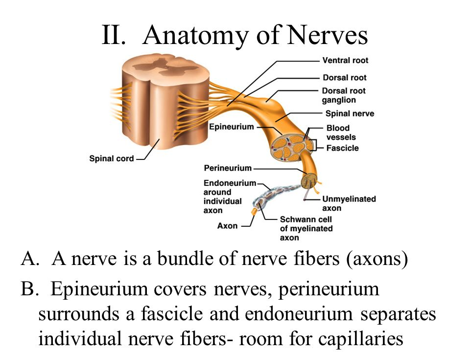 Anatomy of the nerves