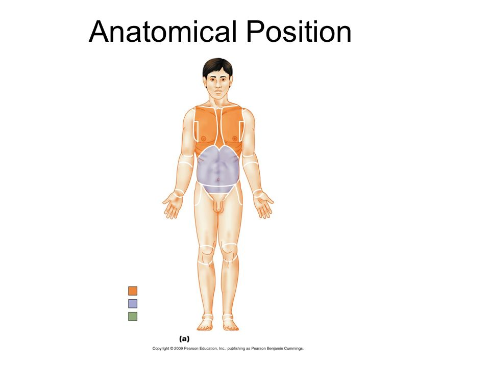 Anatomy and Physiology The Language of Anatomy. Anatomical Position ...