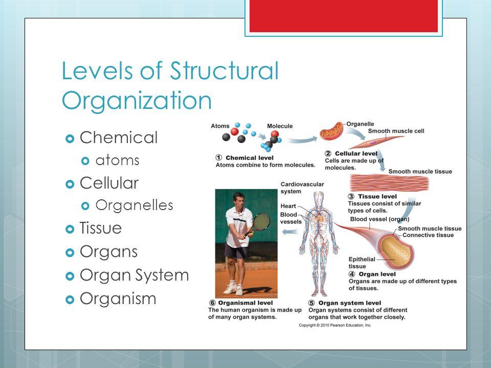 Chapter 1 Body organization A&P Turk. A&P  Anatomy  structure ...