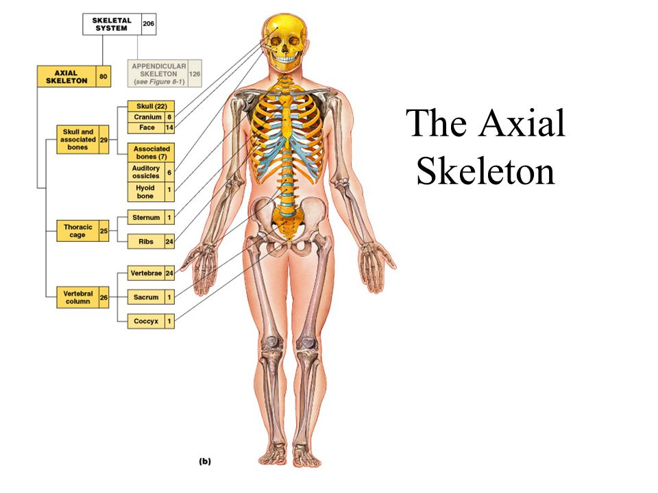 Axial Skeleton Chapter 7. The Axial Skeleton Figure 7–1a. - ppt download