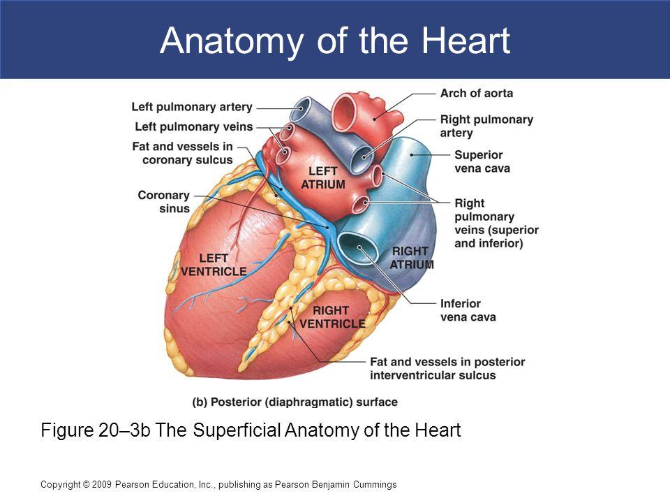 Fancy Surface Anatomy Heart Elaboration - Human Anatomy Images ...