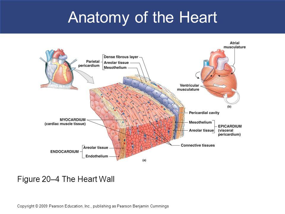 Nice Heart Wall Anatomy Ideas - Human Anatomy Images ...