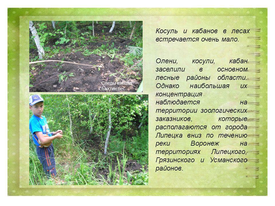 Косуль и кабанов в лесах встречается очень мало. Следы кабана.