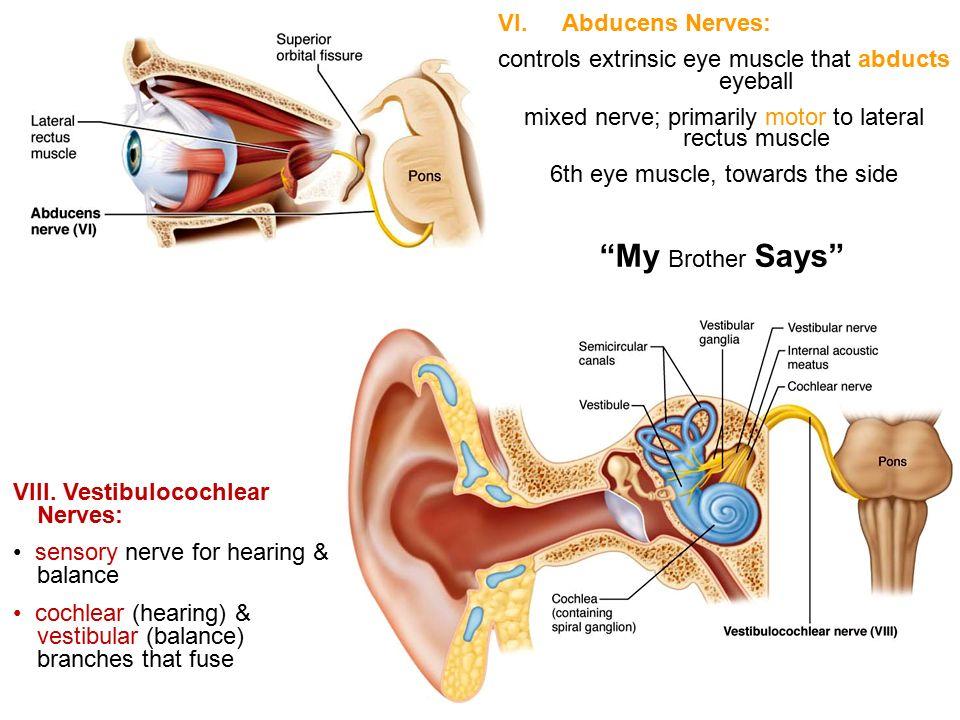 Abducens Nerve Anatomy Choice Image - human body anatomy