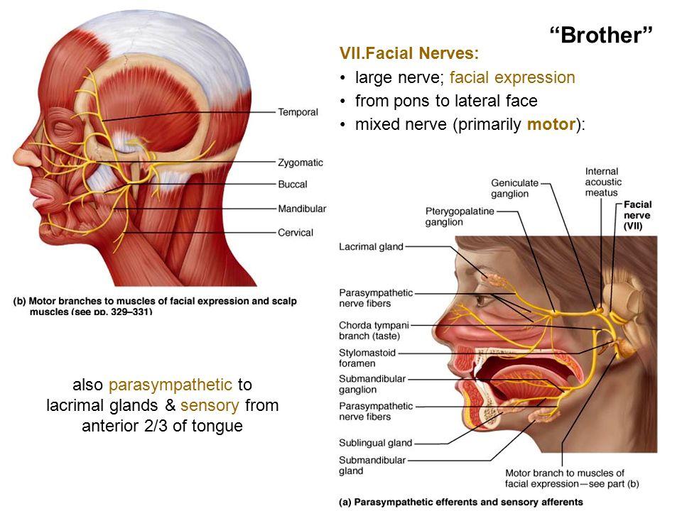 Fein Anatomy Of The Throat Glands Ideen - Anatomie und Physiologie ...