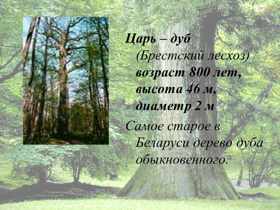 Царь – дуб (Брестский лесхоз) возраст 800 лет, высота 46 м, диаметр 2 м Самое старое в Беларуси дерево дуба обыкновенного.
