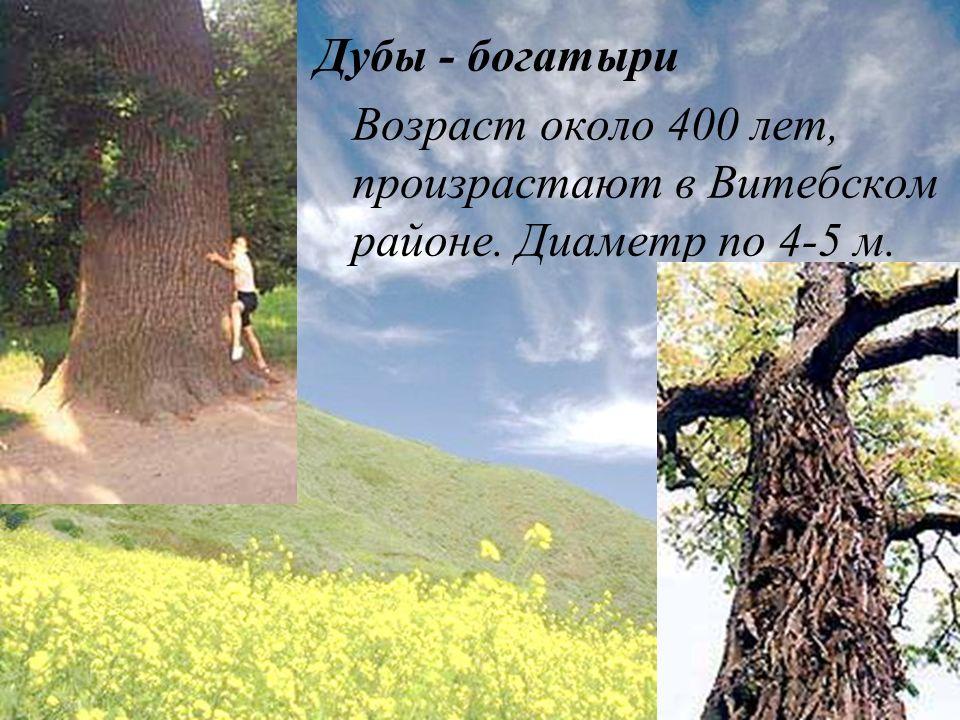 Дубы - богатыри Возраст около 400 лет, произрастают в Витебском районе. Диаметр по 4-5 м.
