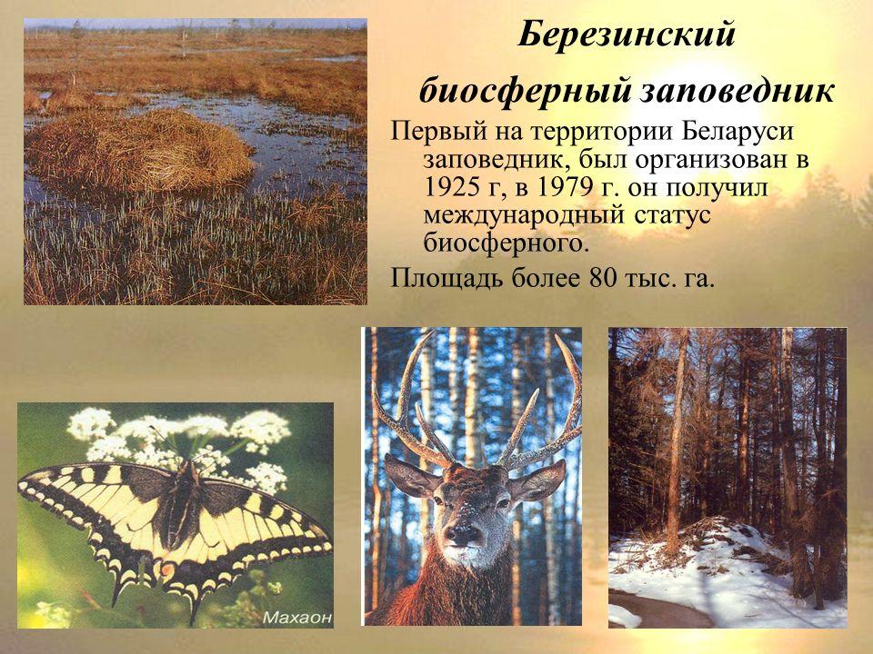 Березинский биосферный заповедник Первый на территории Беларуси заповедник, был организован в 1925 г, в 1979 г.