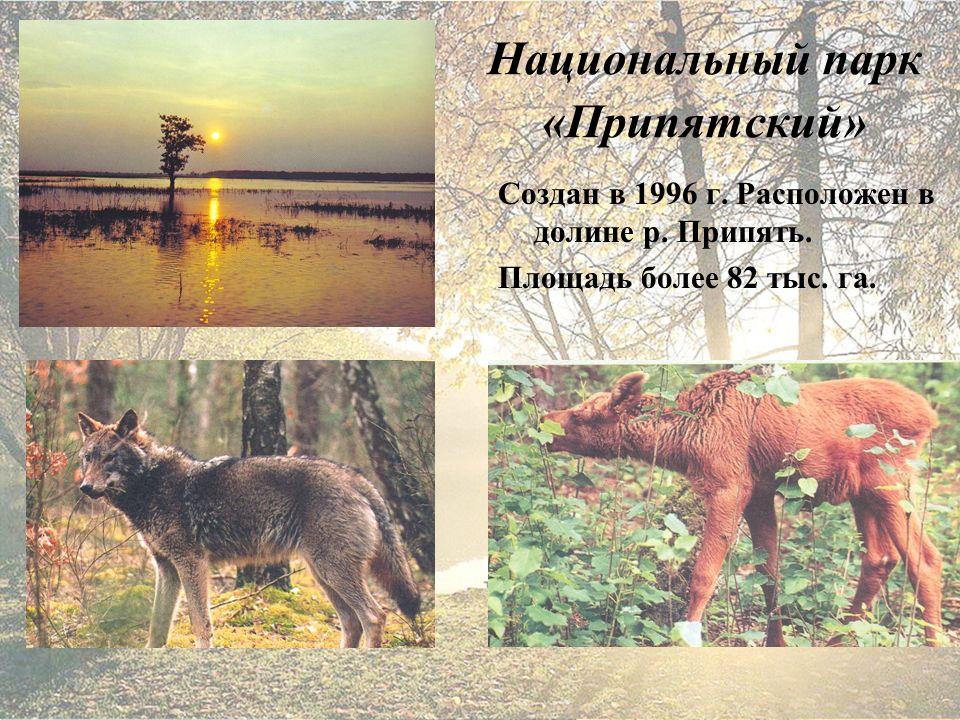 Национальный парк «Припятский» Создан в 1996 г. Расположен в долине р.