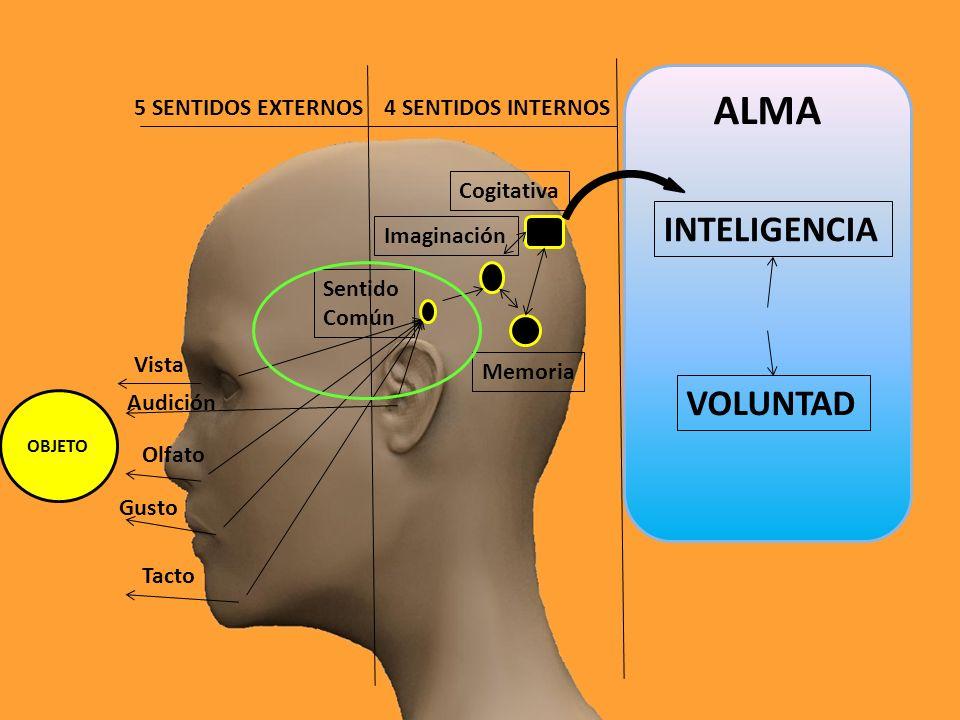 5 SENTIDOS EXTERNOS4 SENTIDOS INTERNOS OBJETO Cogitativa Memoria Sentido Común Imaginación Vista Audición Olfato Gusto Tacto ALMA INTELIGENCIA VOLUNTAD