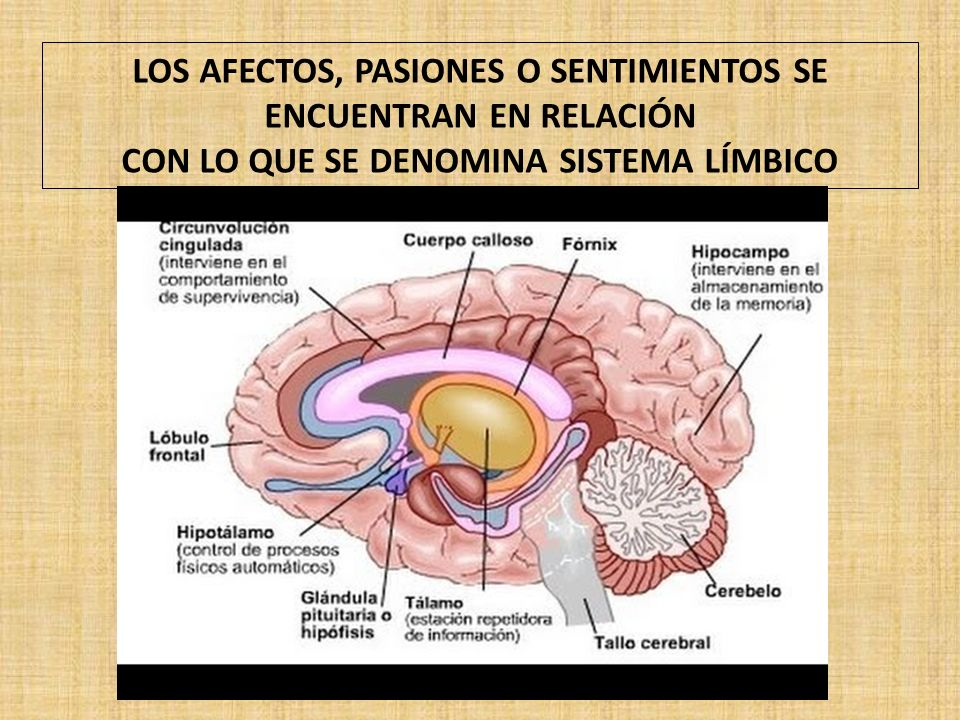 LOS AFECTOS, PASIONES O SENTIMIENTOS SE ENCUENTRAN EN RELACIÓN CON LO QUE SE DENOMINA SISTEMA LÍMBICO