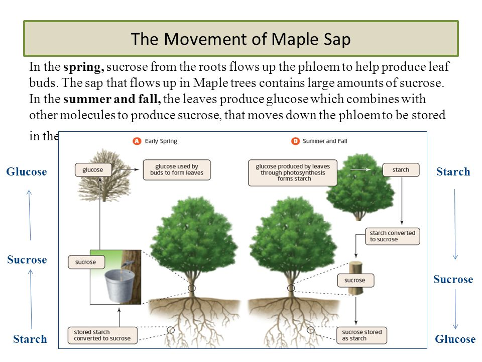 The Movement of Maple Sap In the spring, sucrose from the roots flows up the phloem to help produce leaf buds.
