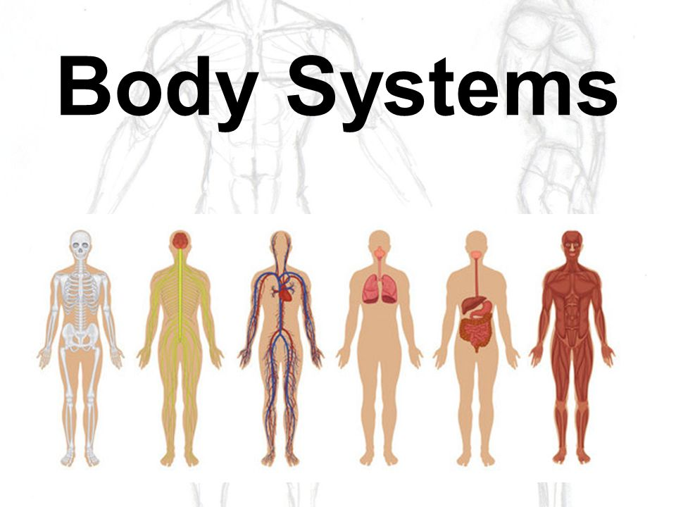 Body Systems Nervous System Organs Brain Interprets And Translates
