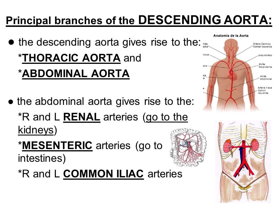 Fein Abdominale Aorta Anatomie Bilder - Anatomie Ideen - finotti.info
