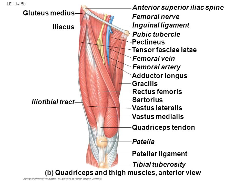 le 11-1 biceps brachii: torque and movement brachioradialis, Muscles