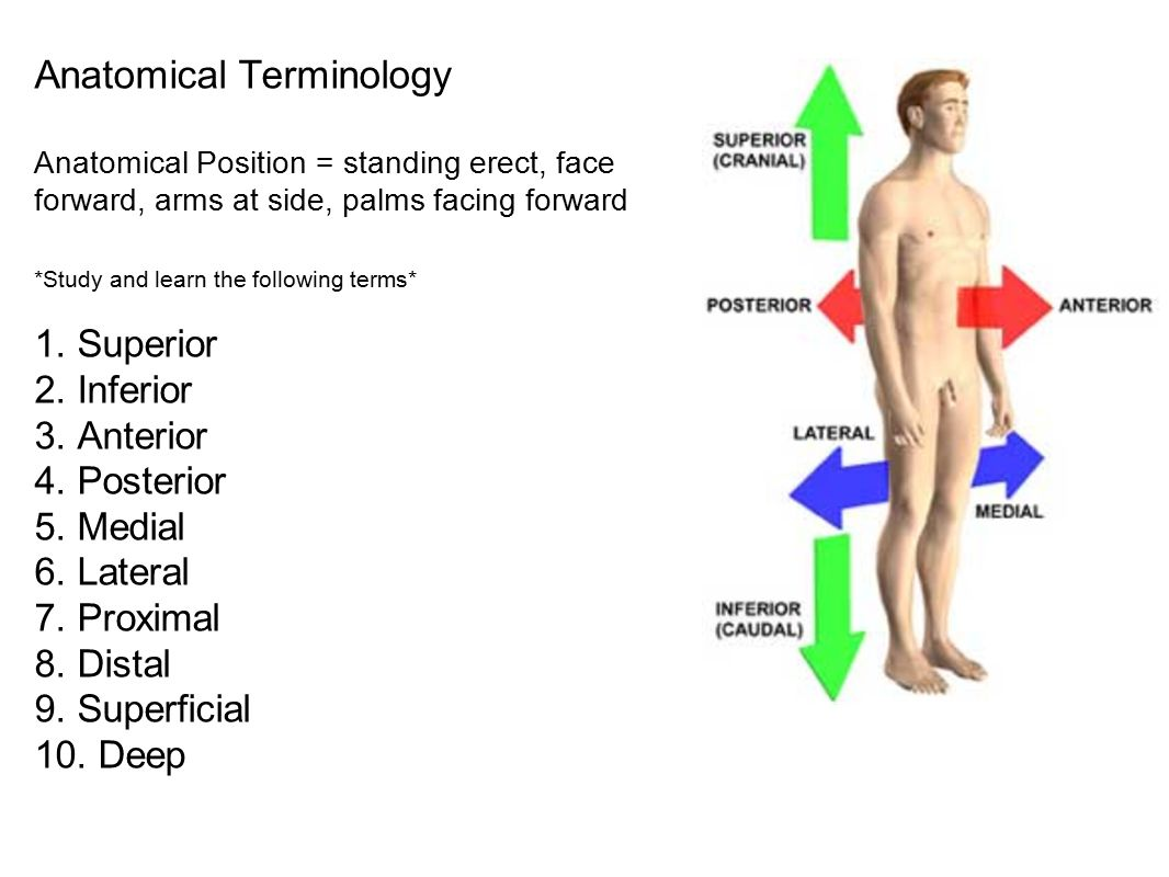 Outstanding Define Lateral Anatomy Sketch - Physiology Of Human Body ...