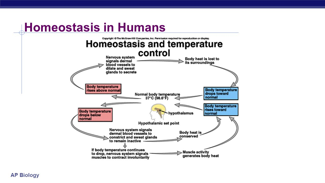 homeostasis in human Revise homeostasis in humans with bbc bitesize for gcse biology.