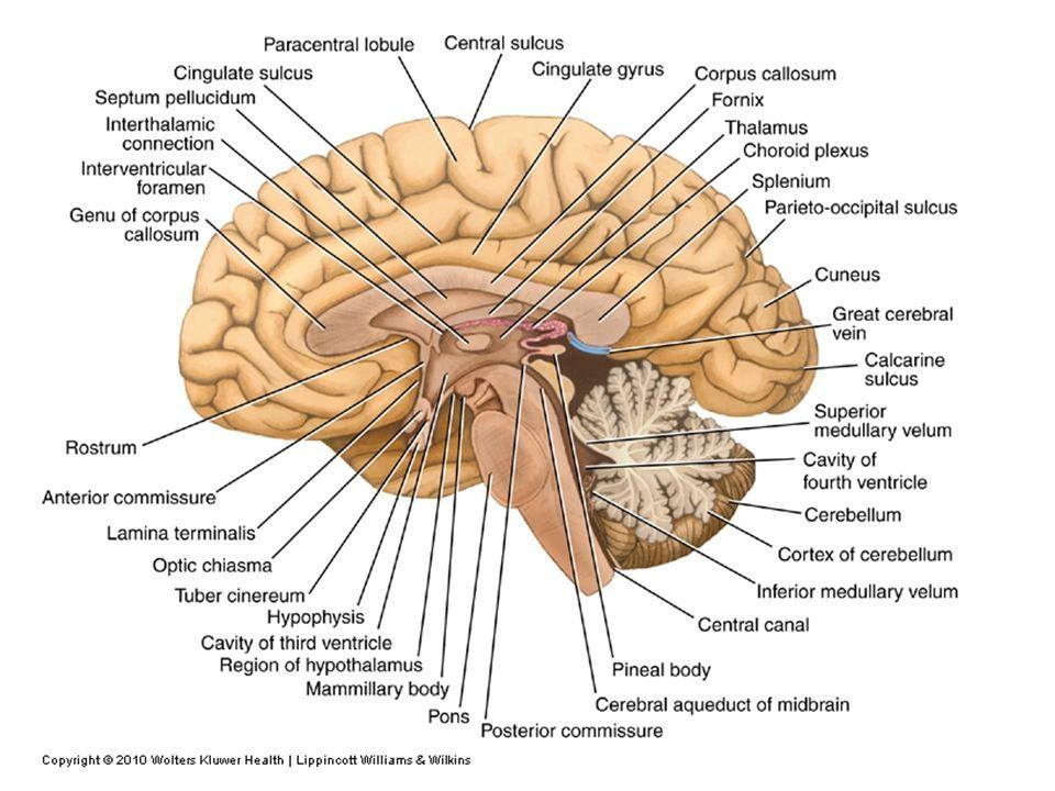 The Brain Dr Ayman G Mustafa Cns Brain Spinal Cord Brain Is