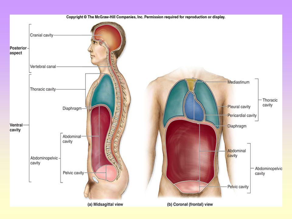 body cavity chart - Heart.impulsar.co